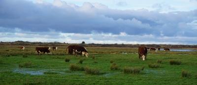 Ameland - koeien