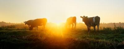 Koeien in de ochtend 0001